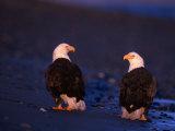 Bald Eagles  Haliaeetus Leucocephalus  AK