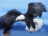 Bald Eagle  Haliaeetus Leucocephalus  AK