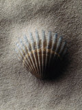 Scallop Shell in Sand