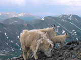 Mountain Goats  Western Wyoming