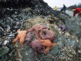 Tourist Inspect Tidal Life  Vancouver Island