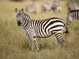 Zebras  Ngorongoro Crater  Africa
