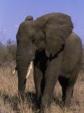 African Elephant  Luxodanta Africana