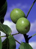 Juglans Regia (Common Walnut)  View of Green Frut of Tree Against Blue Sky