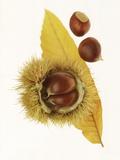 Spiky Seedcase of Castabea Fagaceae (Sweet Chestnut)  with Chestnuts  on Orange Leaf