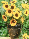 Helianthus (Sunflower) in Brown Glazed Jug  with Delphinium  on Table
