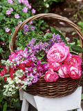 Rosa  Solanum and Larkspur Summer Flowers in a Basket on a White Stool in the Garden