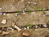 Veronica Persica (Persian Speedwell) Growing Through Decking