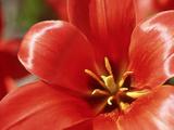 "Tulipa Greigii ""Oratorio"" Close-up Showing Inside of Red Flower"