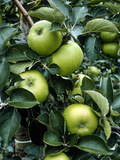 "Apple ""Bramley"" on the Tree"
