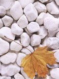 Close-up of Maple Leaf Lying on White Pebbles