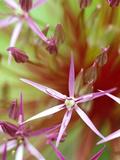 Allium Christophii  Ornamental Allium