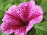 Petunia Strawberry Frost (Conchita Series)