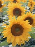 Helianthus  Sunflowers in Field