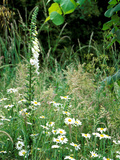 White Foxglove  Ox-Eye Daisy and Grasses