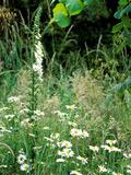 White Foxglove  Ox-Eye Daisy and Grasses