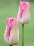 "Tulipa ""Pastel Shades"""