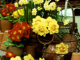 """Narcissus """"Tahiti"""" and """"Minnow"""" (Daffodil) with Red Polyanthus Plant"""