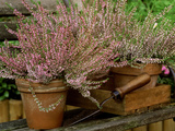 """Scotch Heather """"Anette"""" in Terracotta Pots with Wooden Box & Hand Trowel on Garden Seat  October"""