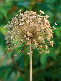 Allium Hollandicum  Close-up of Seed Head  September