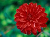 "Dahlia ""Murdoch"" Close-up of Red Flower Head"
