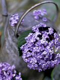 Still Life Outdoors Summer  Hydrangea in Old Metal Watering Can