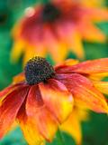 "Rudbeckia ""Gloriosa Daisies "" Close-up of Flower Head"
