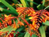 "Crocosmia ""Venus "" Close-up of Orange Flowers and Foliage"