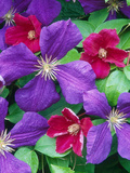 Large Flowered Clematis with Contrasting Colours
