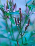 """Verbena Hastata """"Rosea """" Close-up of Flowers"""