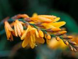 "Crocosmia ""Burford Bronze "" Close-up of Orange Flowers Covered in Dew"