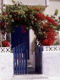 Bright Red Bougainvillea (Paper Flower) Trained in Arch Over Front of Cottage Santorini  Greece