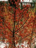 "Ilex Verticillata ""Winter Red"""