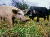 Pigs  Feeding  La Corse  France