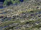 Sheep  Herd Feeding on Meadow  Andalucia  Spain