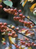 "Malus ""Evereste"" (Autumn Fruit)"