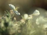 Prairie Evening-Primrose  Flowering  California