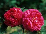 """Rosa """"De Rescht """" Close-up of Red Flower Heads"""