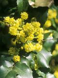Mahonia Aquifolium (Oregon Grape) in Flower
