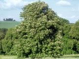 Horse Chestnut in Summer  UK