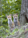 Red Fox  Fox Cubs Outside Den  Vaud  Switzerland