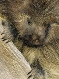 Porcupine  Portrait of Sub Adult on Log  Montana  USA