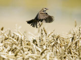 Sparrow  Flying Over Wheat Field  Switzerland