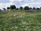 Flowering Meadow with Quercus Ilex  Extremadura  Spain