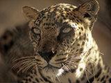 Arabian Leopard  Male  United Arab Emirates