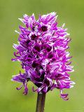 Monkey Orchid  Spike Close Up  UK