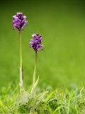 Monkey Orchid  Kent  UK