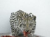 Arabian Leopard on the Brink of Extinction  United Arab Emirates
