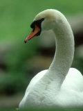 Mute Swan  Portrait  Austria