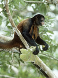 Spider Monkey  Panama